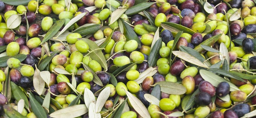 Olives/Agrumes: Le Maroc s'attend à des productions record