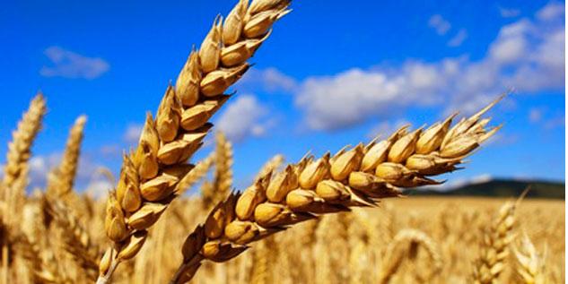 Le blé tendre au menu du Conseil de gouvernement