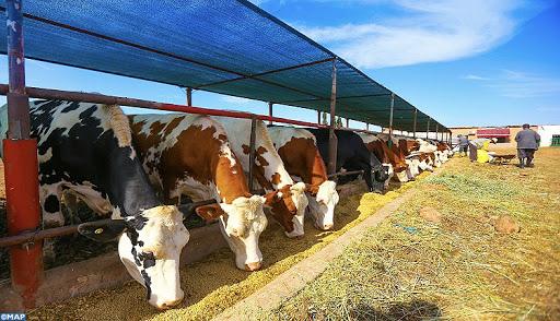 Secteur de l'élevage : Un chiffre d'affaires estimé à plus de 35 Mds de DH par an