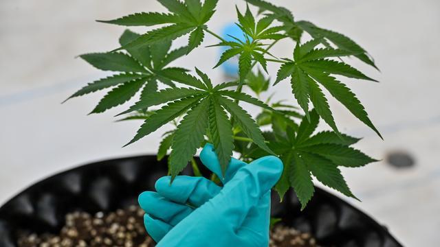 Le cannabis n'est plus considéré comme un stupéfiant à risque par la Commission des stupéfiants des Nations Unies